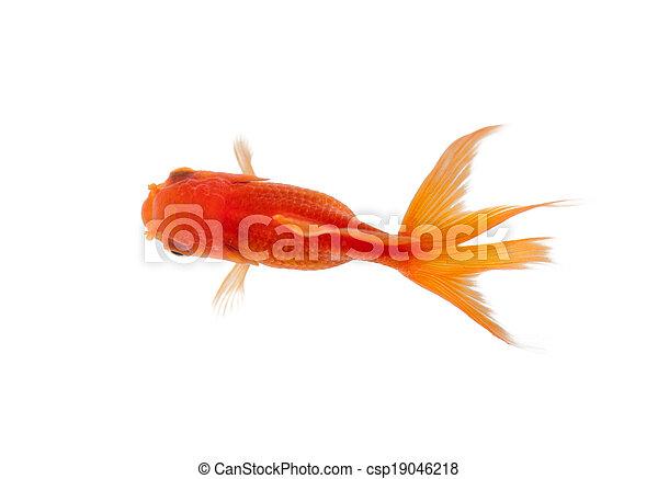 Photographies de fin haut poisson rouge natation for Tarif poisson rouge