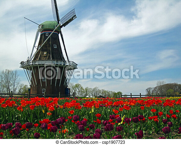 Dutch windmill in a field of blooming tulips - csp1907723