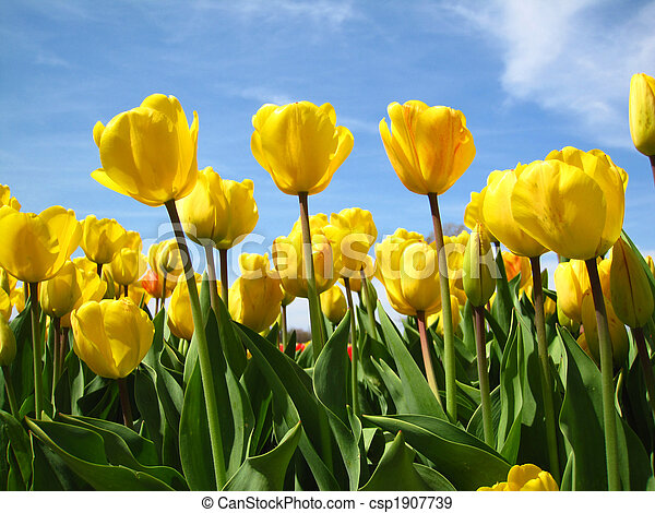 Yellow tulips in bloom during the spring - csp1907739