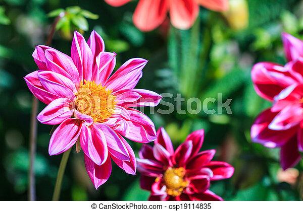 photos de dahlia fleur fond dahlia fleur pour fond csp19114835 recherchez des images. Black Bedroom Furniture Sets. Home Design Ideas