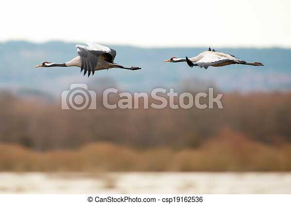 Two Crane birds flying over a lake