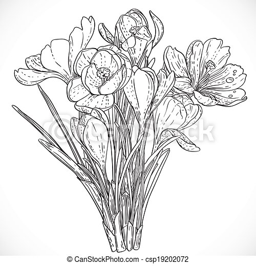 Vectors Illustration Of Bouquet Spring Crocuses On The