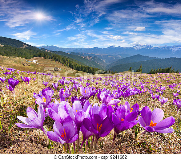 Blossom of crocuses at spring in the mountains - csp19241682