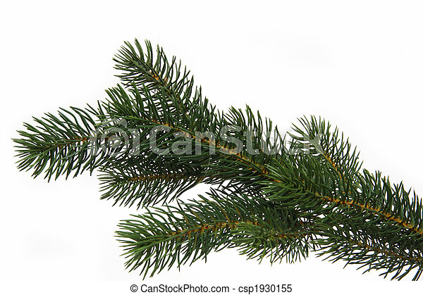 Fir tree branch - csp1930155