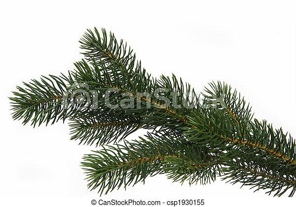 Fir tree branch - csp1930155