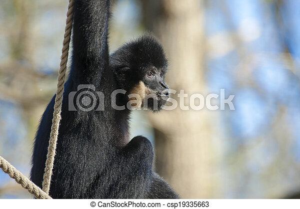Yellow-cheeked gibbon - csp19335663