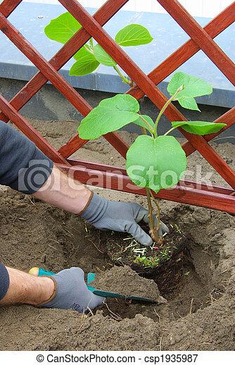 image de planter kiwi plante 02 csp1935987 recherchez des photographies des photos des. Black Bedroom Furniture Sets. Home Design Ideas