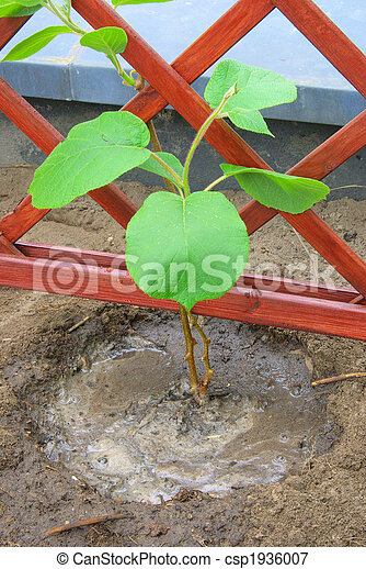 image de planter kiwi plante 10 csp1936007 recherchez des photographies des photos des. Black Bedroom Furniture Sets. Home Design Ideas