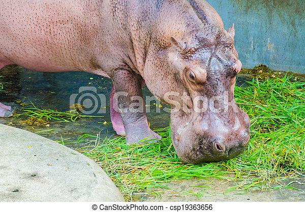 Hippo - csp19363656