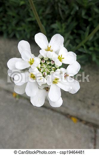 Stock de fotos rbol hoja perenne candytuft o planta for Ver fotos de arboles de hoja perenne
