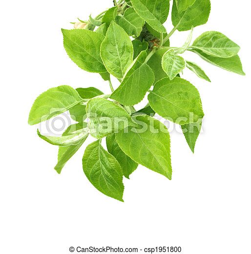 Leaves of a apple tree - csp1951800