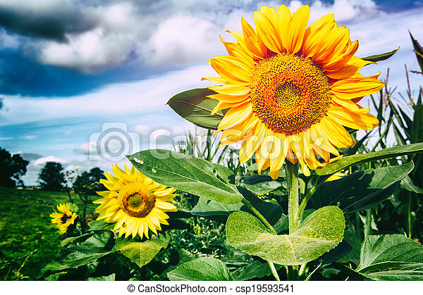 Summer landscape with sunflowers - csp19593541