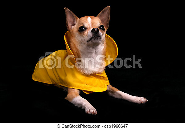 Chihuahua in a Raincoat - csp1960647