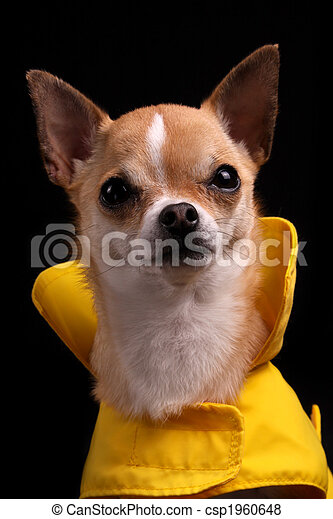 Chihuahua in a Raincoat - csp1960648