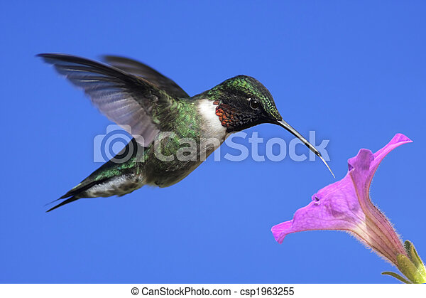 Male Ruby-throated Hummingbird (archilochus colubris) - csp1963255