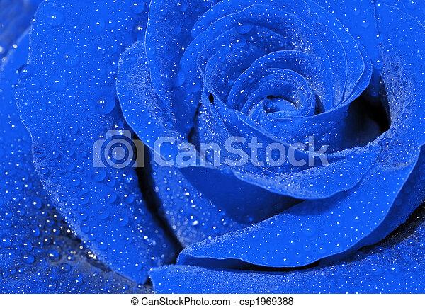 Blue rose - csp1969388