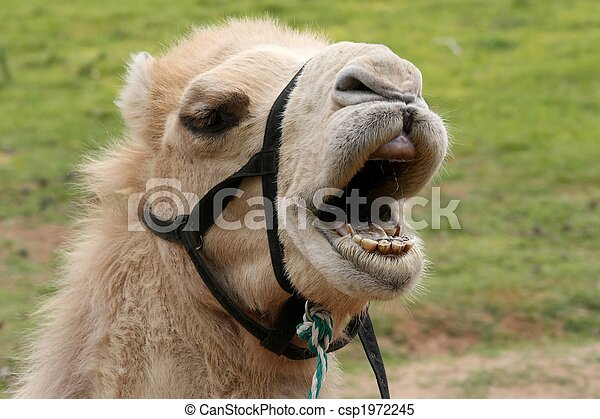 Camel with wide open mouth showing teeth