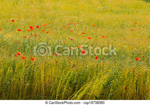 poppies in a field of flax - csp19738080