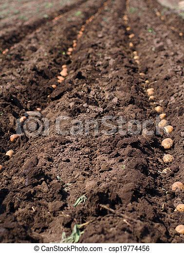 Sowing Potato, Seeding Process.