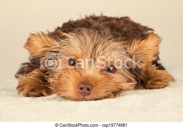 Yorkshire Terrier puppy lying in studio looking inquisitive on beige bed - csp19774681