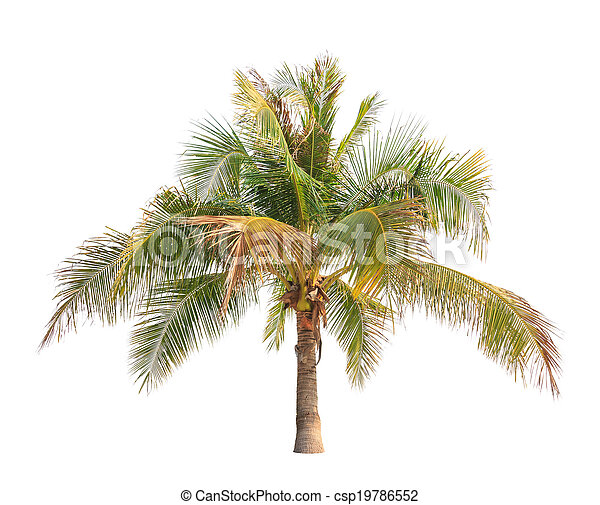 Coconut palm tree isolated on white background  - csp19786552