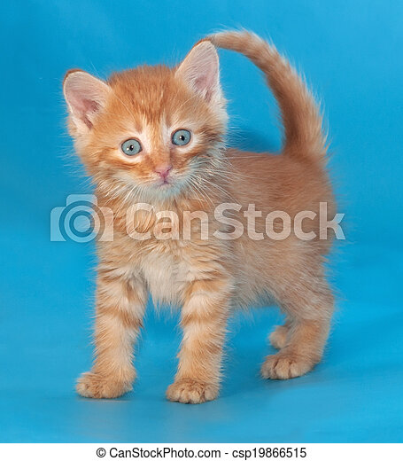 Surprised fluffy ginger kitten on blue
