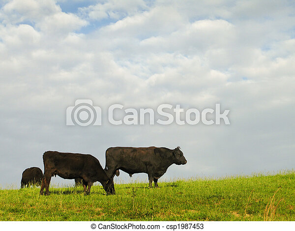 Black Angus Beef Cattle - csp1987453