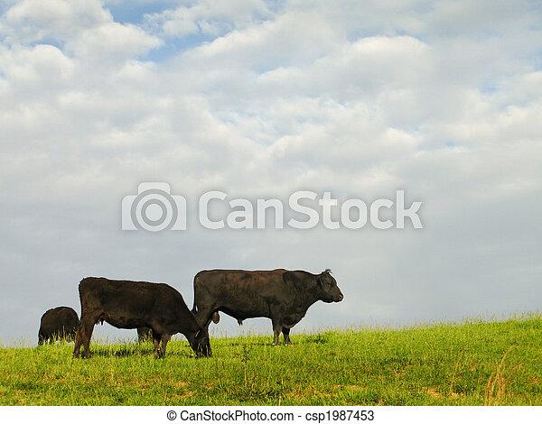 Black Angus Beef Cattle - csp1987453
