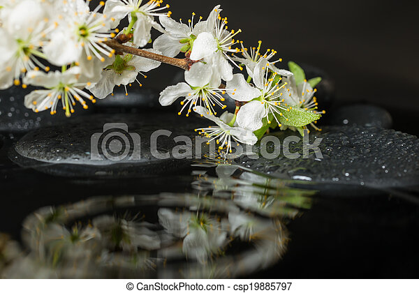 Beautiful spa setting of zen stones with drops and blooming twig of plum with ripples reflection on water