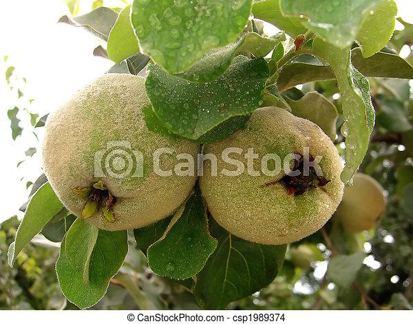 photo de coing arbre deux coing fruit pendre depuis les csp1989374 recherchez des. Black Bedroom Furniture Sets. Home Design Ideas
