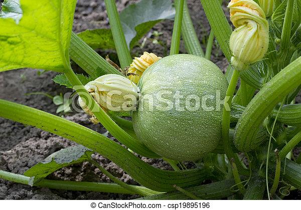 Green pumpkin embryo
