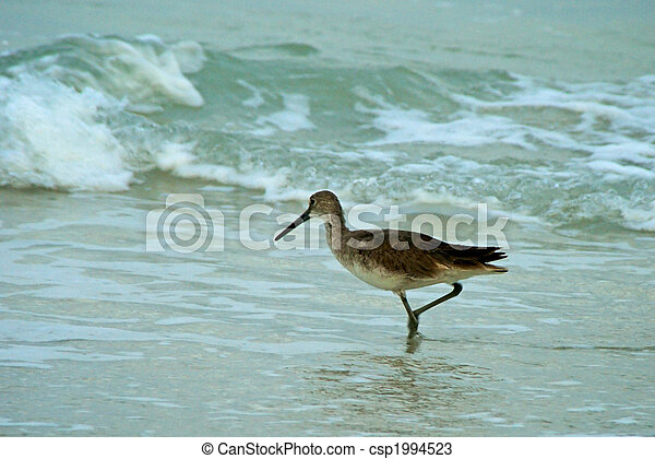 A brown stilt sandpiper in breeding plumage is in the ocean with wavs coming near, one foot is raised. - csp1994523