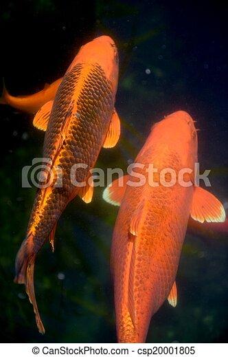 Photographies de koi carpe fish a fin haut coup de for Carpe koi tarif