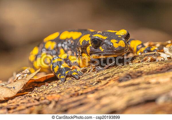 Salamandra Salamandra in Natural Habitat - csp20193899