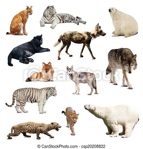 Set of predatory mammals. Isolated over white - csp20208822