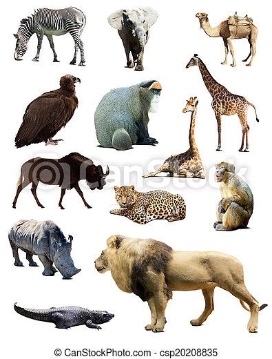 állhatatos, állatok, afrikai - csp20208835