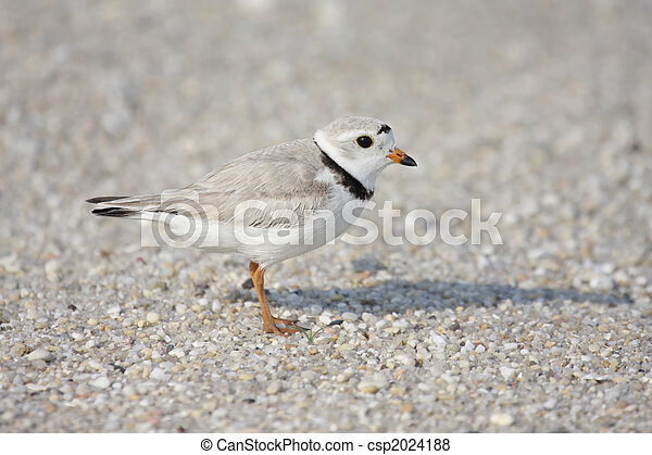 Endangered Piping Plover (Charadrius melodus) - csp2024188
