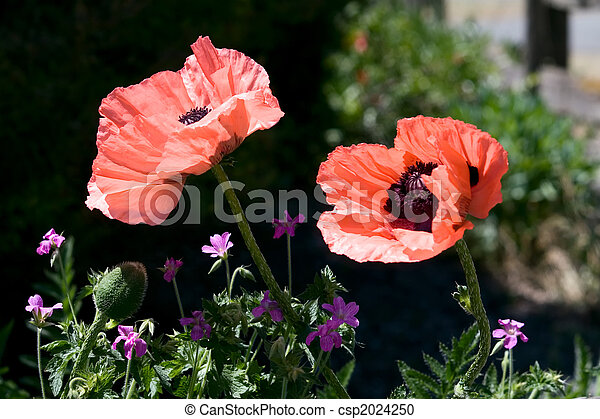 Giant Pink Poppies - csp2024250