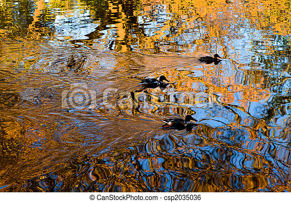 Three Ducks Gliding on Reflective Pond - csp2035036