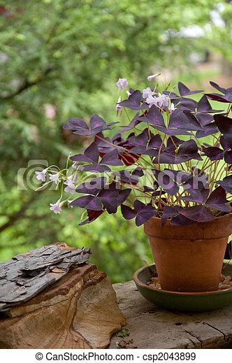 stock fotografien von kleeblatt irisch pflanze teilweise ansicht von csp2043899. Black Bedroom Furniture Sets. Home Design Ideas