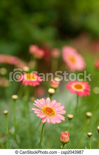 pink daisy flowers - csp2043987