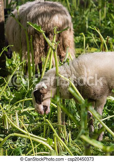 Lamb eating hogweed