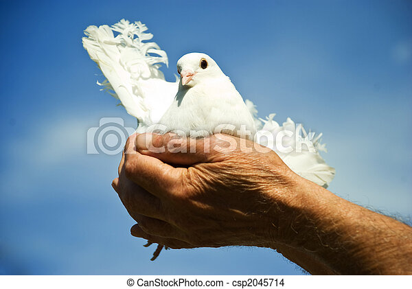 Elderly hands hold a white dove - csp2045714