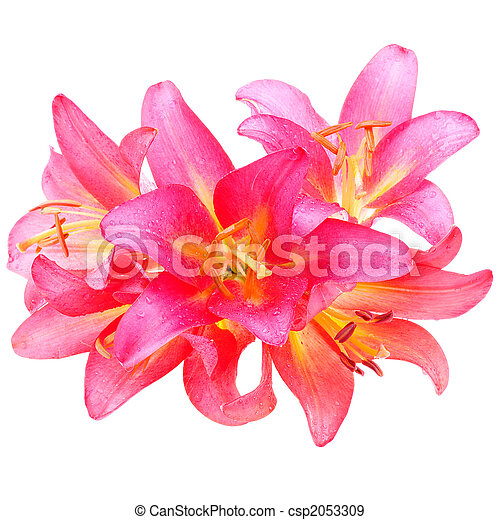 pink lilly - csp2053309