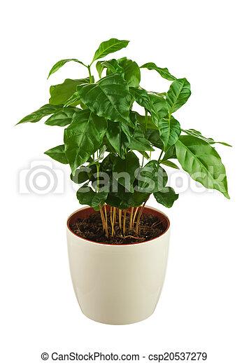 image de caf arbre arabica plant dans fleur pot isol sur csp20537279. Black Bedroom Furniture Sets. Home Design Ideas