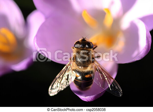 Bee pollinates Crocus - csp2058038