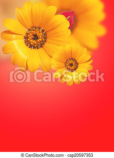 Gerbera Flowers isolated on red - csp20597353