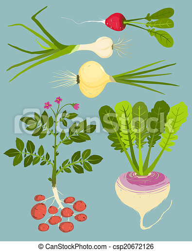 Root vegetables Illustrations and Clipart 5430 Root vegetables