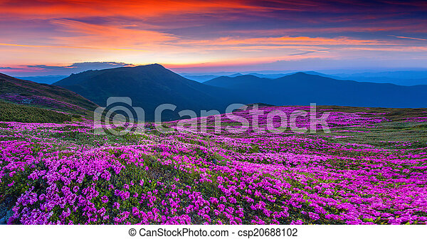 Magic pink rhododendron flowers on summer mountain. - csp20688102