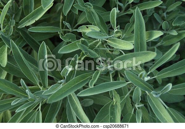 sage growing in an herb garden